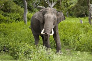 Male Asian Elephant