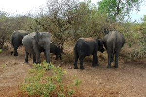 Sri Lankan Elephant Herd
