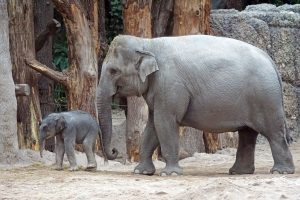 Female Asian Elephant With A Calf