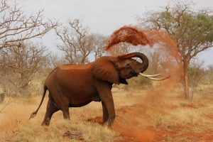 An Elephant Coating Itself with sand