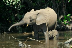 Female African Forest Elephant And Calf: Elephant species