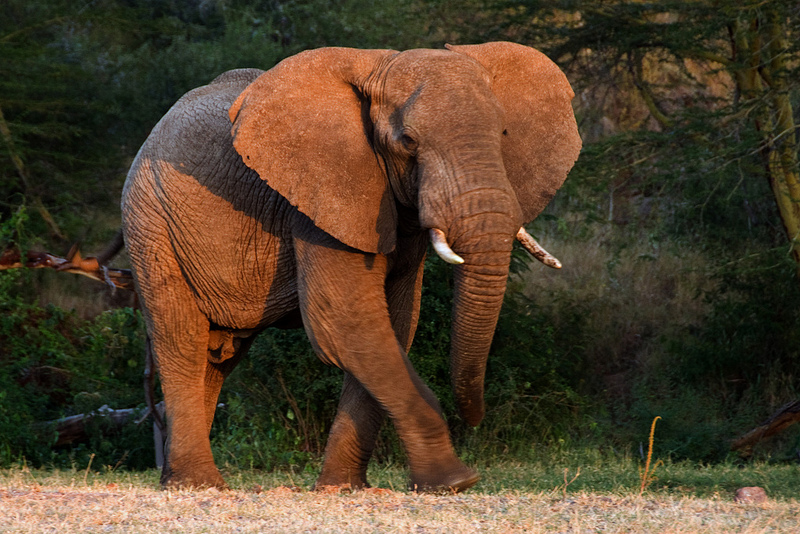 An African Elephant: How to survive an elephant attack