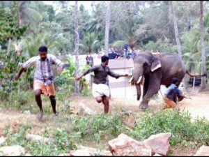 Villagers Running From An Elephant: Indian Elephants Killing People.