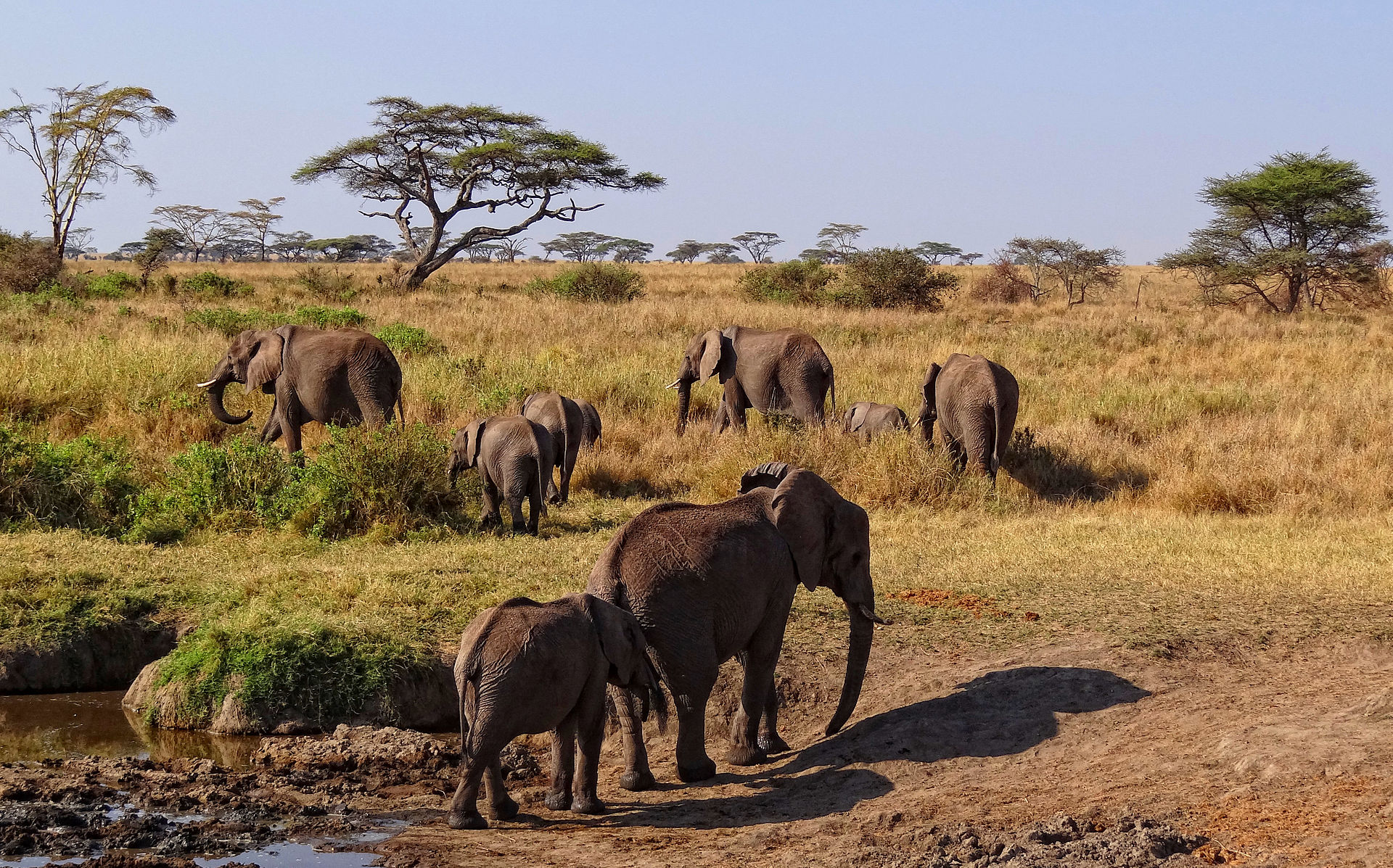 Elephant Herd In The Serengeti National Park: See elephants in the wild