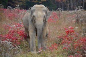 Shirley An Elephant At The Elephant Sanctuary