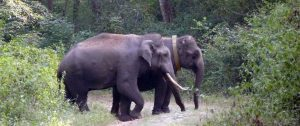 Two Elephants. One Is Wearing An Elephant Collar