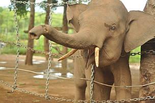 Trapped Elephant: Elephants In Vietnam