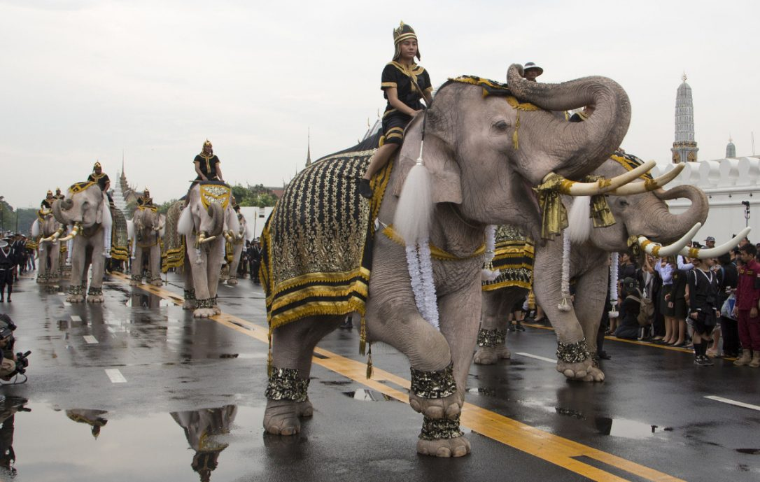 A Procession Of White Elephants In Honor Of The Late Thai King: Thailand's White Elephants