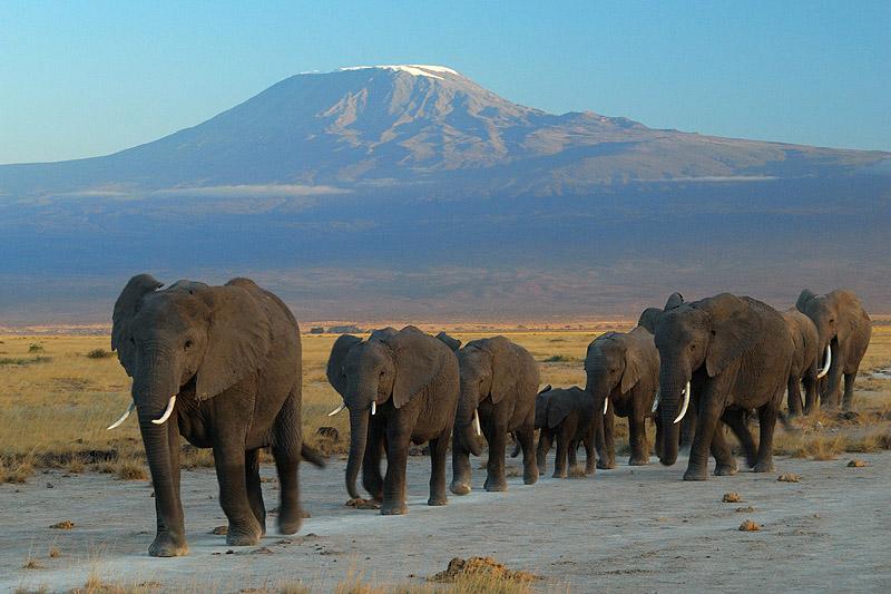 A herd of elephants : The Amboseli Elephants
