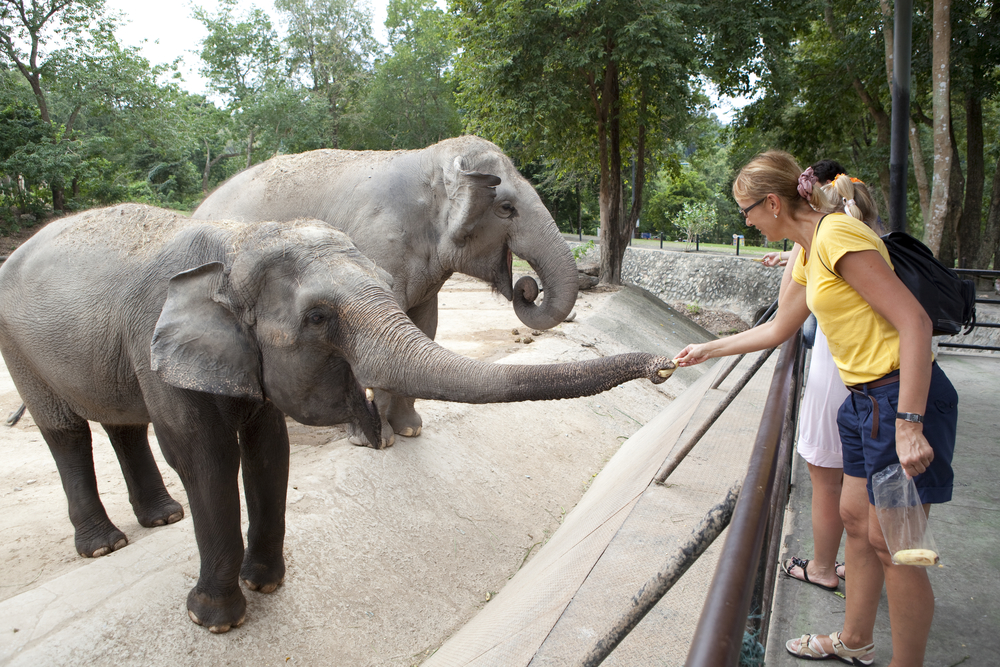 Visitors Feeding Elephants At A Zoo: Elephants are dying in zoos
