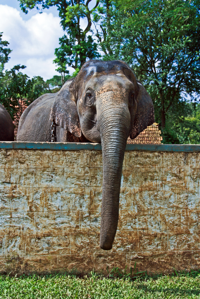 Domestic elephants are a direct target of hungry wild herds: Wild Elephants In Vietnam