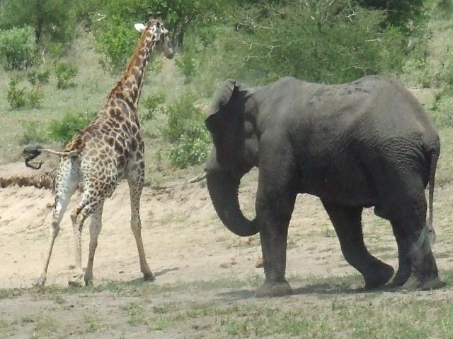 A Wild Bull Elephant In Musth Chasing A Bull Giraffe