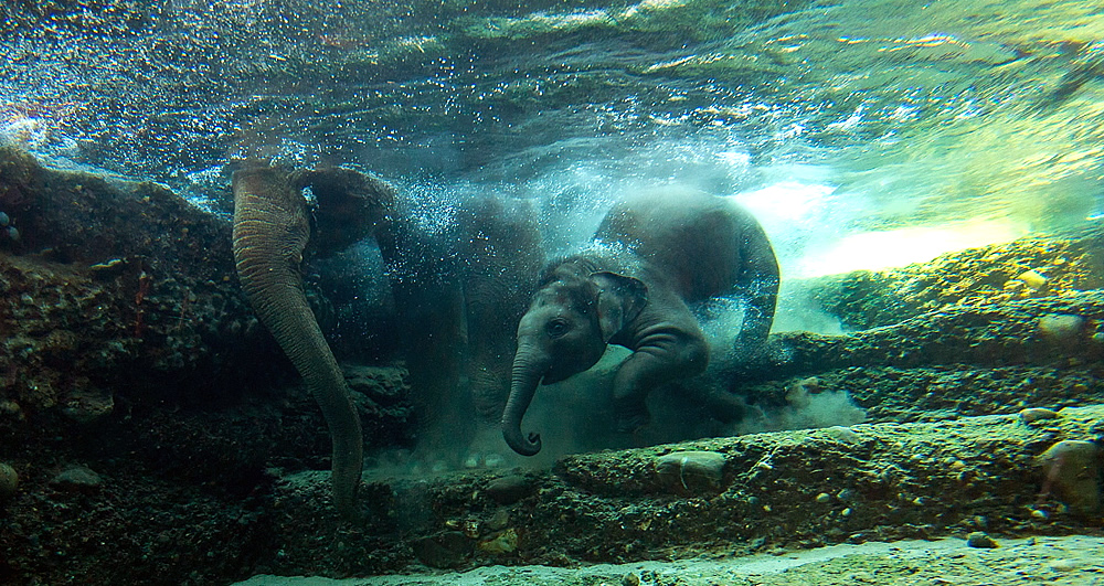 Can elephants swim?