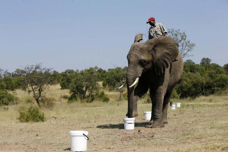 A ranger on an elephant during the experiment at the Adventures with Elephants game ranch, Mabula, northwest of Johannesburg (Photo: REUTERS/Siphiwe Sibeko); bomb sniffing elephants